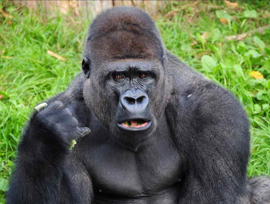 933168-gorilla